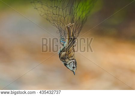 Crested Tit On Blurred Background. Small Bright Bird Is Entangled In Net. Ornithology. Bird Study. P