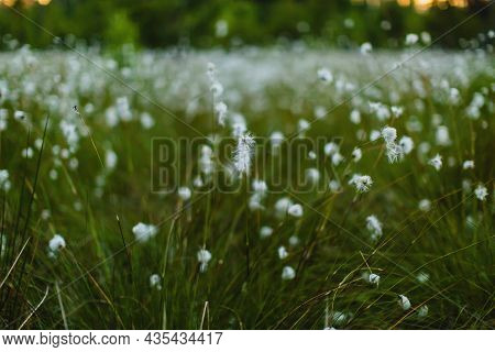 Marsh Fluff. Marshes Of Europe. Green Grass And Blooming Flowers Grow In The Swamp. Swamp Vegetation