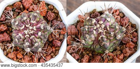 Dinosaur Is A Kind Of Gymnocalycium Mihanovichii Is A Type Of Cactus Or Succulents Tree That Is Bred