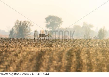 Roe Deer Female Autumn (capreolus Capreolus) Wild Deer In Nature