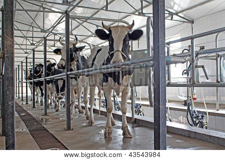 Dairy Cows In The Milking Parlor