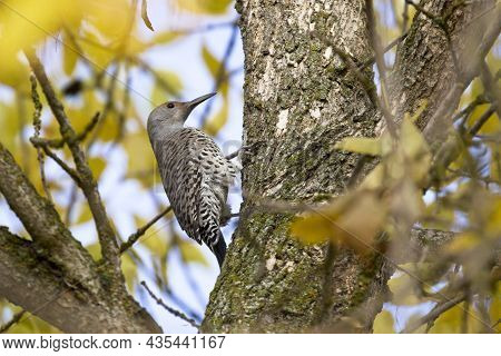 Northern Flicker Up In A Tree. A Pretty Northern Flicker Is Perched On A Tree With Yellow Leaves In