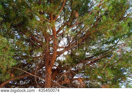 The Crown Of A Maritime Pine -pinus Pinaster-, Typical Of The Mediterranean Sea, Observed From Under
