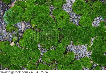 Moss. Bright Green Moss, In The Forest. Natural Autumn Background. In The Sun, On A Summer Or Spring