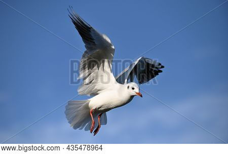 Sea Seagull, White Seagulls, Flying Seagull, Animal In Nature