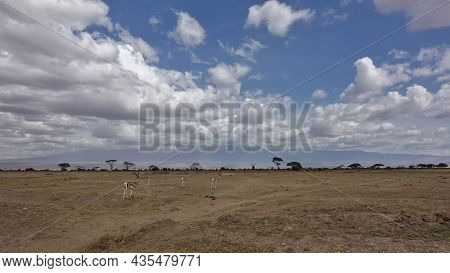A Group Of Impala Antelopes Walks On The Dusty Ground Of The African Savanna.  Silhouettes Of Trees