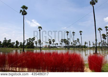 Toddy Palm Tree Or Sugar Palm Plant Garden Park With Paddy Rice Field And Grass Red Color Of Pathumt