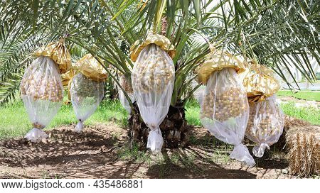 Dates Wrapped In Insect Netting. White Netting Envelops Fresh Date Palm Fruit To Prevent Disease And
