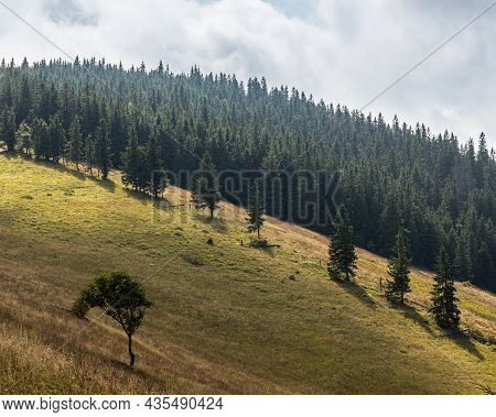 Meadow With Coniferous Trees In The Mountains On A Sunny Day. Forest Background