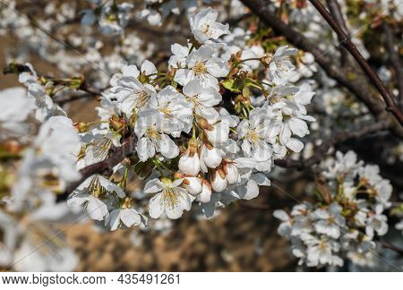 Flowers Of The Cherry Blossoms On A Spring Day. Beautiful Floral Image Of Spring Nature Panoramic Vi