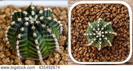 Star Line Is Name Of Gymnocalycium Mihanovichii Is A Type Of Cactus Or Succulents Tree That Is Bred
