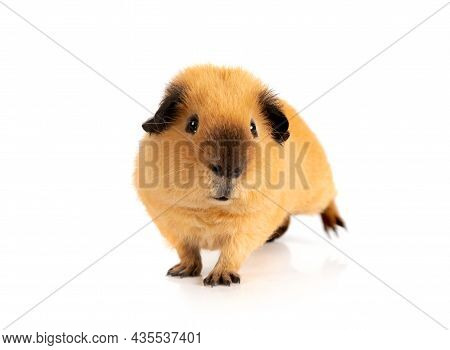 Cutie Red Guinea Pig Portrait Isolated On White Background