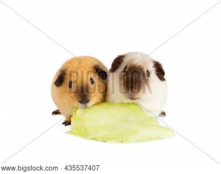 Lunch Time. Two Cutie Guinea Pigs Eating One Cabbage Leaf Isolated On A White Background