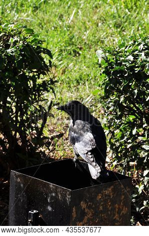 A Crow On The Edge Of A Trash Can. Crow On A Background Of Green Bushes And Grass.