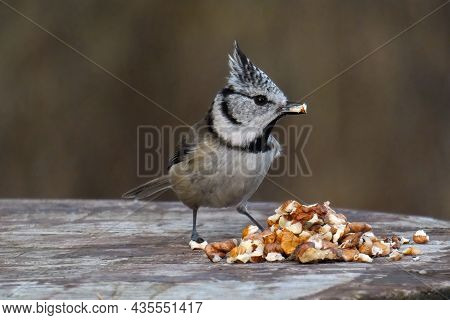 The European Crested Tit, Flies In Winter To Eat, Very Fond Of Nuts