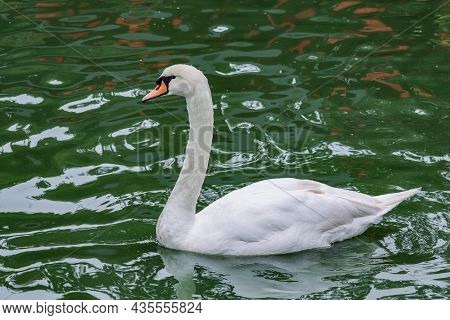 Beautiful Mute Swan, Cygnus Olor, Swimming In The Lake During Spring Sunny Day. Picture Is Taken On