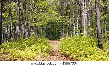 springy view from european beech wood with pathway