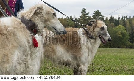 Russian Greyhounds In Nature. Russian Borzoi Dog Stands Against The Background Of Autumn Nature. Ani