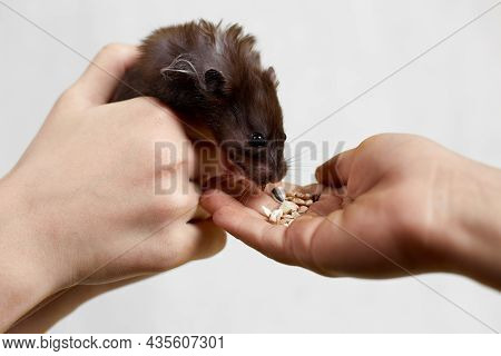 A Syrian Hamster Eats Out Of His Hand On A White Background.