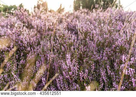 Common Heather Flowers, Calluna Vulgaris, Luneburg Heath, Lueneburger Heide, Germany