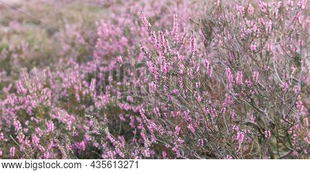 Common Heather Flowers, Calluna Vulgaris, L Neburg Heath, Lueneburger Heide, Germany
