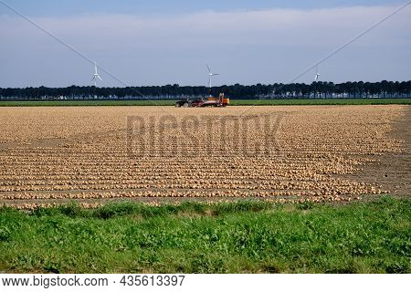 Rows Of Harvested Onions, Drying In A Agricultural Field Waiting To Be Picked Up. Tractor And Onion