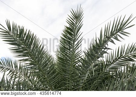 Date Palm Leaves In The Date Palm Plantation