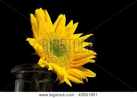 Bright Sunflower In An Old Bottle On A Black Background