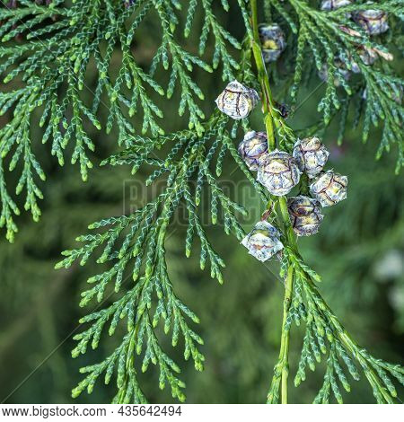 Leaves And Cones Of A Lawson Cypress Tree