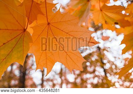 Autumn Leaves With Very Shallow Focus. Macro Of Maple Leaves. Selective Focus. Blurred Background Wi