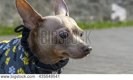 Russian Toy Terrier In A City Park In The Autumn. Russian Toy Terrier In Clothes Standing In The Par