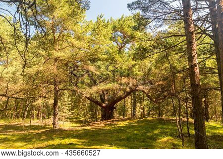 Tourist Attraction Magic Pine At Summer Time On Hel Peninsula.