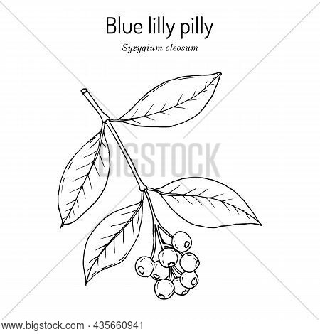 Scented Satinash Or Blue Lilly Pilly Syzygium Oleosum , Edible And Ornamental Plant. Hand Drawn Bota