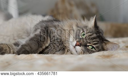 Hairy Gray Green-eyed Cat Lying On Sofa Indoors. Tired Furry Cat Of Siberian Breed Resting, Looking