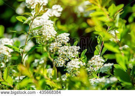 Spirea Bushes Bloom In The Spring In May