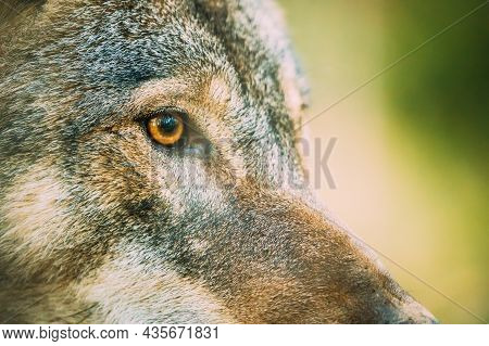 Close Up Eye Pupil Of Canis Lupus, Gray Wolf, Grey Wolf. Wolf Eye.