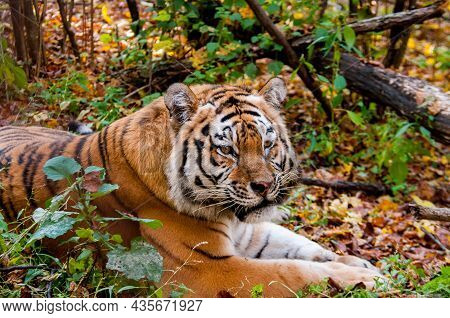The Amur Tiger Lies In The Autumn Forest
