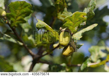 Oak Autumn Leaves And Acorns. Close-up Of An Oak Branch With Green Leaves And Green Acorns In The Su