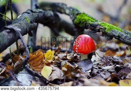 Red Mushroom Fly Agaric In The Forest. Beautiful Red Fly Agaric Or Toadstool In The Grass. Latin Nam