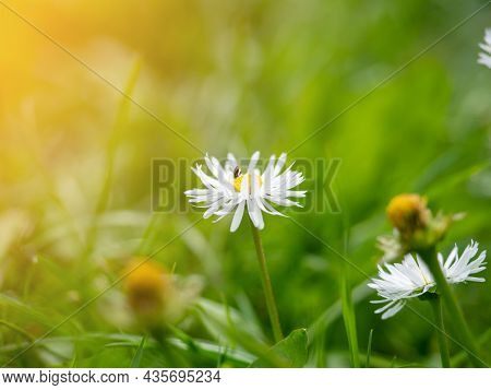Close-up Of A Blooming White Daisy In A Green Meadow In Summer. Beautiful Floral Background, Nature,
