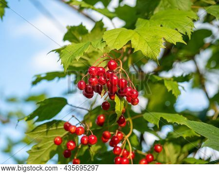 Close-up Of Red Viburnum Berries Growing On A Branch, In Summer On A Sunny Day