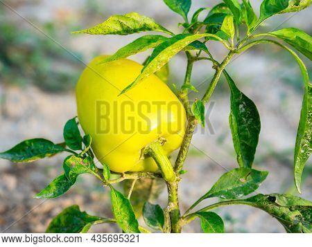 Close-up Of A Yellow Sweet Pepper Hanging On A Branch. The Concept Of Gardening, Harvest, Countrysid