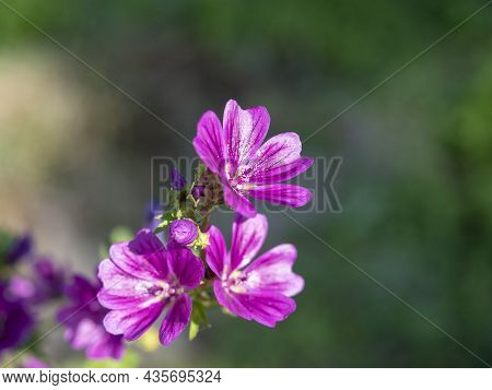 Close-up Of Cranesbill Geranium Flower In Summer In The Garden During The Day. Ornamental Plants For