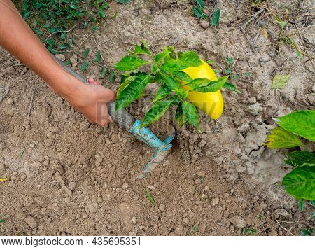 Close-up Of A Woman's Hand With Hoe Removes Weeds Under A Bush Of Yellow Sweet Pepper. Gardening, Pl