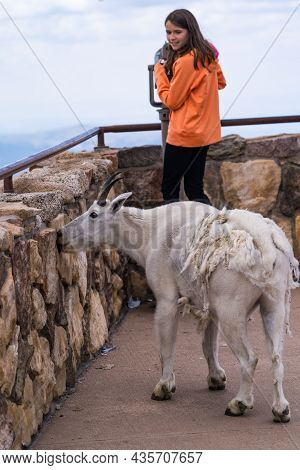 Colorado, Usa - July 29, 2021: Mountain Goat Licks Salt Off The Wall, While A Teenage Tourist Girl L