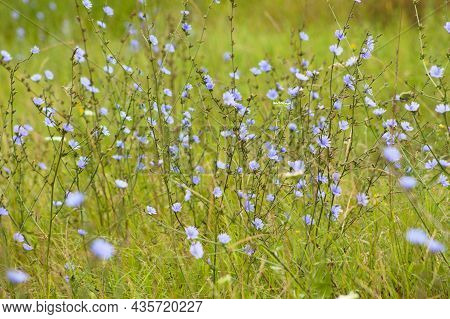Multiple Common Chicory In Bloom Close-up Landscape View With Selective Focus On Foreground