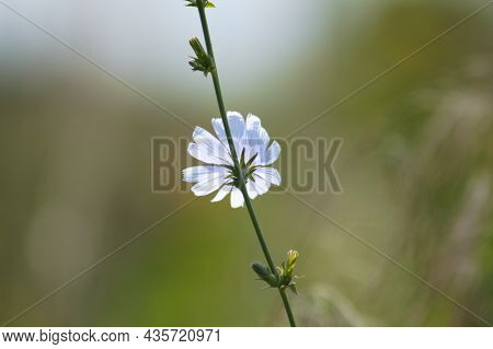 Common Chicory In Bloom Close-up View With Green Blurred Background