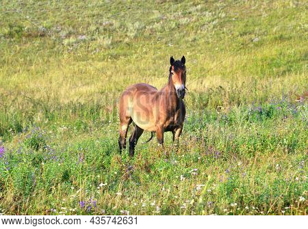 The Pet Stands Among The Thick Green Grass With Its Head Raised. Altai, Siberia, Russia