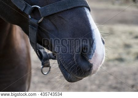 Close-up Of Muzzle Of Chestnut Horse With White Nose. Selective Focus.
