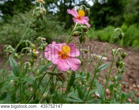 Helianthemum 'lawrensons Pink' Is A Low Spreading, Evergreen Shrub With Narrow, Dark Green Leaves. I